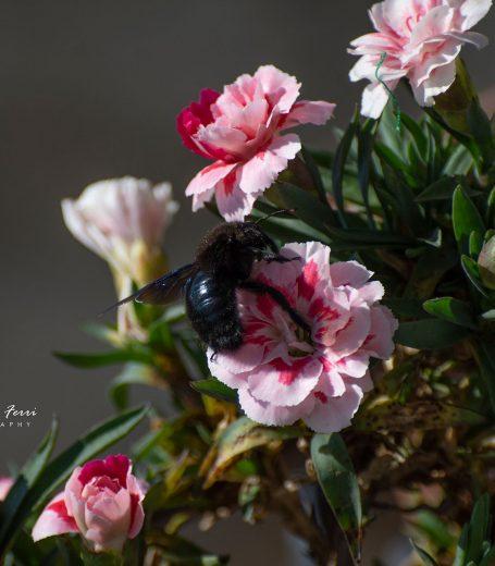 Bombo su pianta di garofanini