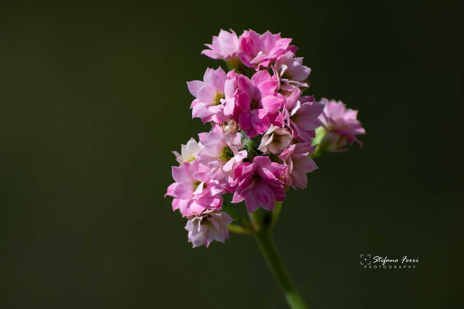 Fiori rosa di pianta grassa