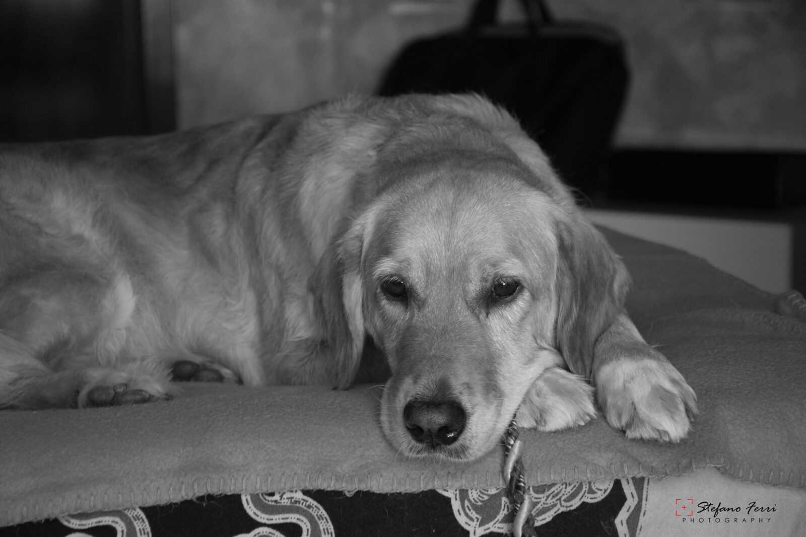 Golden Retriever che riposa sul letto
