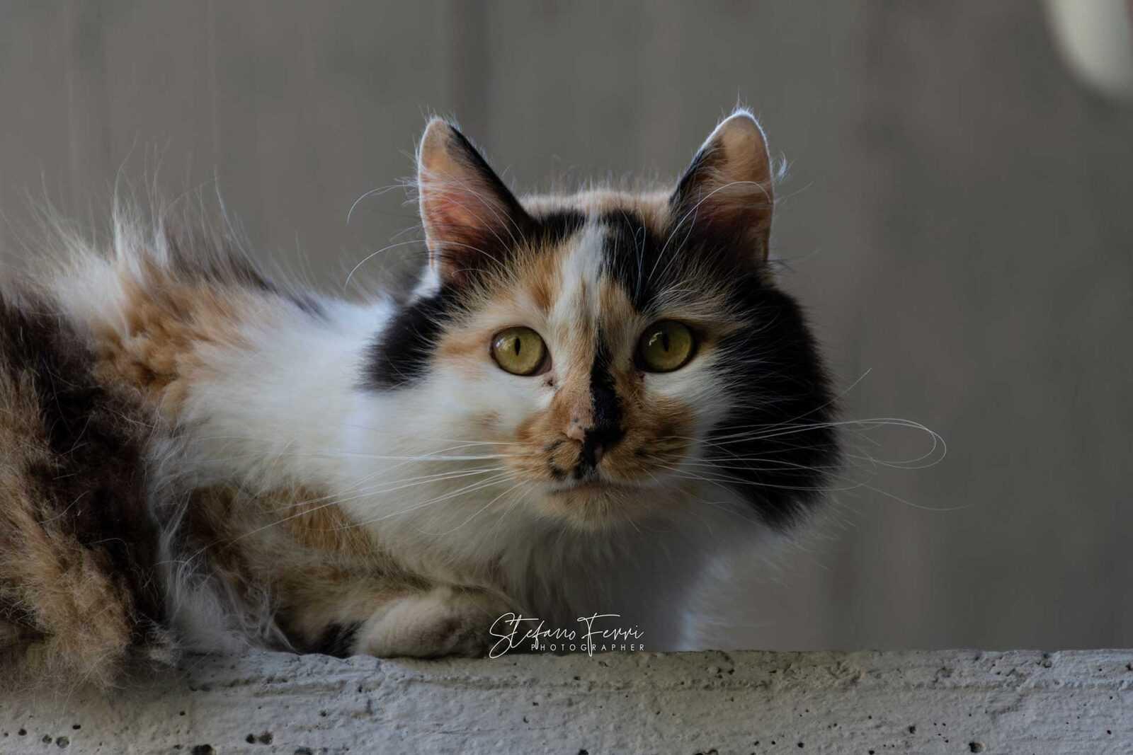 Ritratto di gatta tricolore su muretto