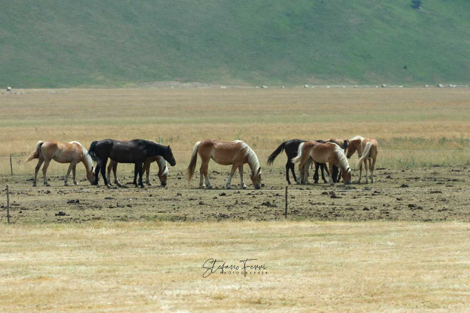 Castelluccio di Norcia, gruppo di cavalli al pascolo